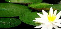 lotus.pond